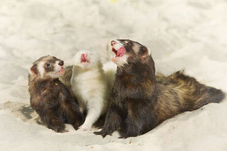 Ferret group of albino and sandard color portrait in beach sand