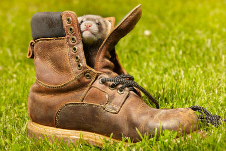 Ferret babies old about five weeks relaxing in leather shoes