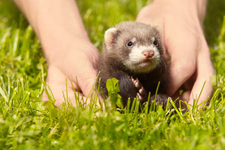 Ferret baby old about five weeks relaxing in human hands