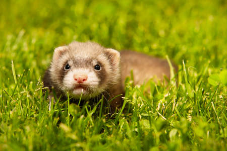 Ferret baby old about five weeks relaxing on summer grass Stockfoto