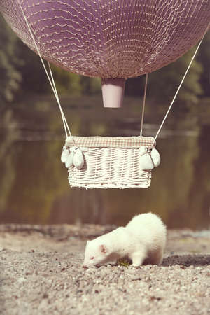 Albino ferret in air flying in balloon in front of lake