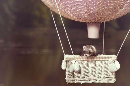 Standard color ferret in air flying in balloon in front of lake