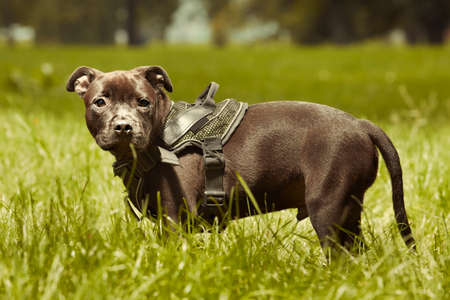 Three months old staffordshire bull terrier puppy posing in summer park
