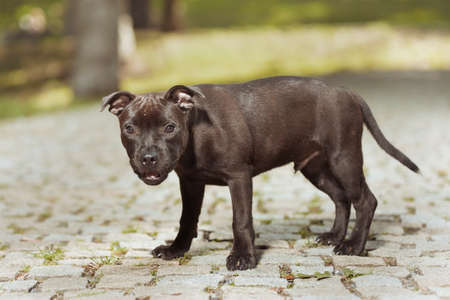Staffordshire bull terrier male puppy three months old on park sidewalk