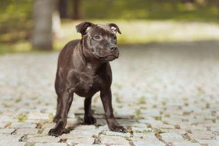 Staffordshire bull terrier male puppy three months old on park sidewalk