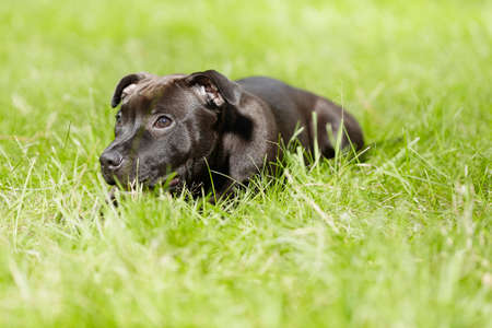 Staffordshire bull terrier male puppy three months old in park