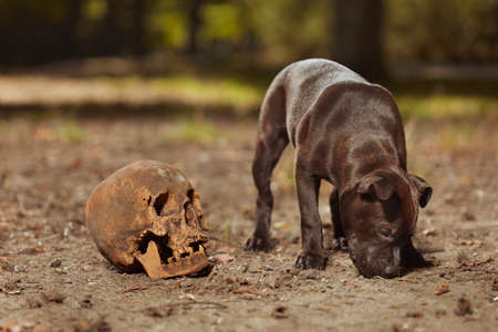 Staffordshire bull terrier male puppy with human skull