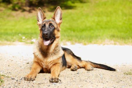 Six months old german shepherd female posing in park Stock Photo