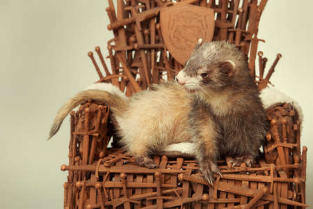Ferret on model of stylish chair made of rusty swords