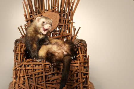 Ferret on model of stylish chair made of rusty swords Stock Photo