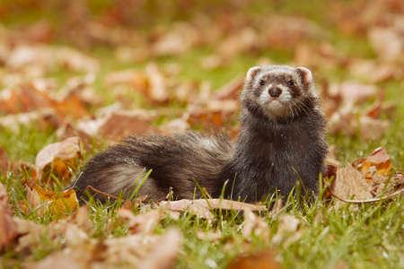 Dark fur ferret relexing in autumn leaves in park
