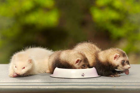 Ferret babies old about eight weeks tasting piece of chicken meat
