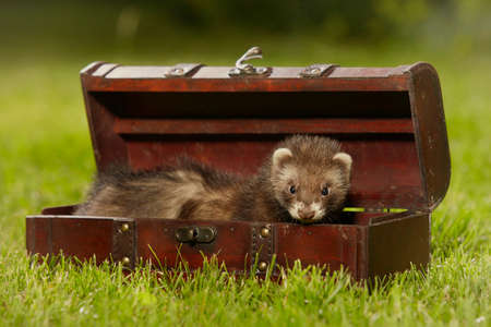 Ferret baby old about eight weeks posing in wooden box
