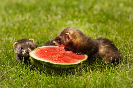 Group of ferret babies old about eight weeks tasting watermelon in grass
