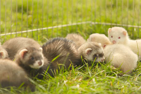 Large group of ferret babies old about eight weeks laying outdoor on grass