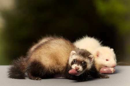 Ferret babies old about eight weeks tasting piece of chicken meat Stockfoto