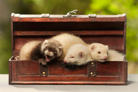 Group of ferret babies old about eight weeks posing in wooden box