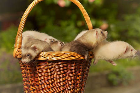 Group of ferret babies old about eight weeks posing in basket Archivio Fotografico
