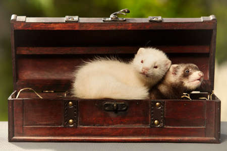 Couple of ferret babies old about eight weeks posing in wooden box