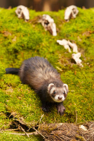 Dark sable ferret posing as a hunting predator in forest moss decorated with prey skulls Stockfoto