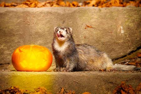 Older dark ferret posing with halloween Jack-o'-lantern pumpkink Stockfoto