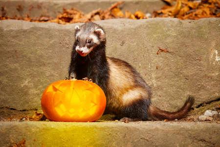 Dark ferret posing with halloween Jack-o'-lantern pumpkink Standard-Bild