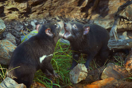 Couple of tasmanian devils communicating in tender fight