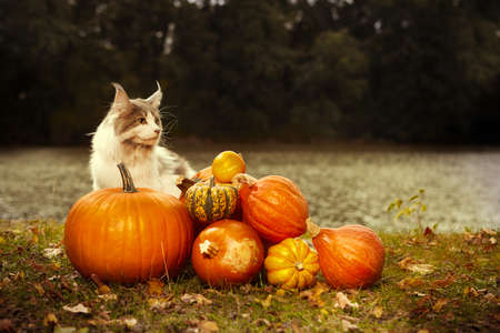 Maine coon cat female posing outdoor in autumn time with pumpkins Stok Fotoğraf