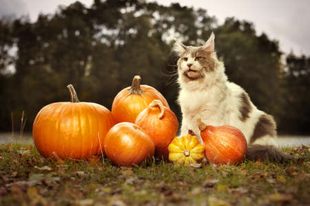 Maine coon cat female posing outdoor in autumn time with pumpkins Фото со стока