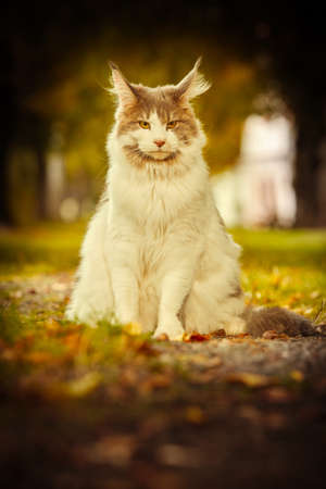 Maine coon cat female posing outdoor in autumn time Stok Fotoğraf