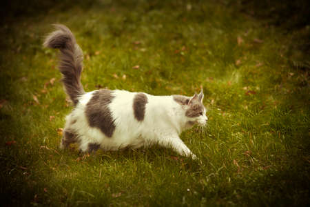 Maine coon cat female walking  outdoor in autumn time