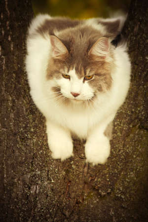 Maine coon cat female posing outdoor in autumn time sitting on tree