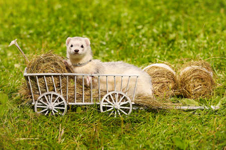 Lovely ferret playing and posing on wooden ladder carriage