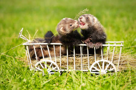 Couple of ferret babies playing and posing on wooden ladder carriage