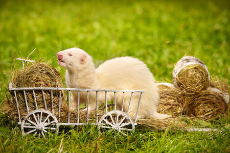 Lovely albino ferret playing and posing on wooden ladder carriage