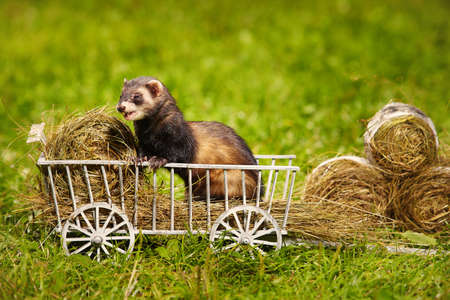 Standard color ferret playing and posing on wooden ladder carriage Foto de archivo