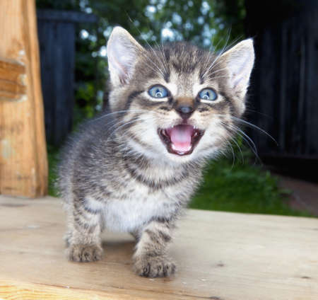 hissing: little kitten with blue eyes sitting on a chair in the garden hissing