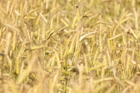close up of rye in a field ready for harvest photo