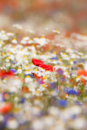 flowers field: abundance of blooming wild flowers on the meadow at spring time