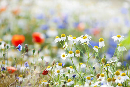field of flowers: abundance of blooming wild flowers on the meadow at spring time