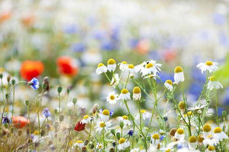 campo de flores: abundancia de flores silvestres florecen en el prado en primavera Foto de archivo