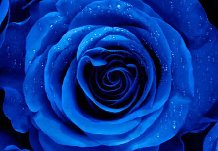 Closeup of a Blue Rose Archivio Fotografico