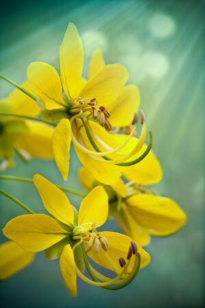 Golden Shower Tree  Cassia Fistula vertical  Stock Photo
