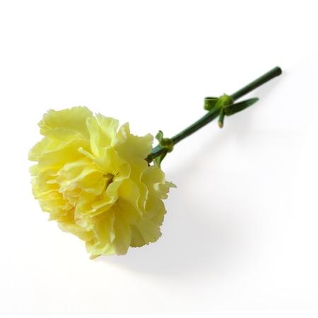 Carnation on the floor