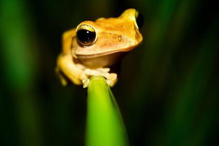 Gele Frog Stockfoto