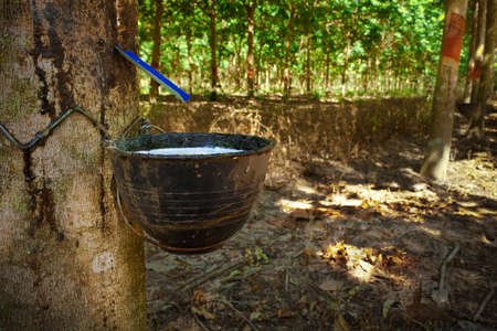 Rubber Tapping photo