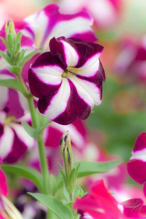 petunia wild: Petunia