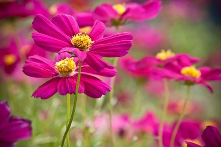 pink daisy: Pink Daisy