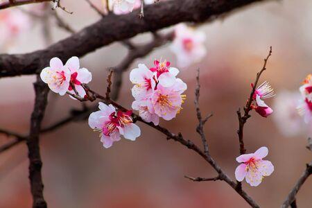 cherry tree: Sakura Cherry Blossom