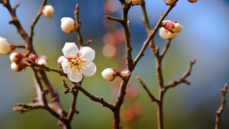 Sakura Cherry Blossom photo